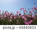 秋桜畑 44840833