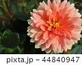 ダリアの花 44840947