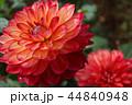 ダリアの花 44840948
