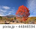 長野県、乗鞍高原の大カエデ 44846594