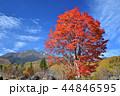 長野県、乗鞍高原の大カエデ 44846595