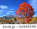長野県、乗鞍高原の大カエデ 44846596