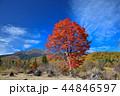 長野県、乗鞍高原の大カエデ 44846597