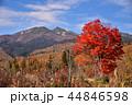 長野県、乗鞍高原の大カエデ 44846598