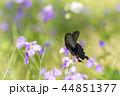 蝶 花 黒揚羽の写真 44851377