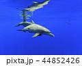 ボニンブルーの海を泳ぐミナミハンドウイルカの親子 44852426