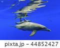 ボニンブルーの海を泳ぐミナミハンドウイルカの親子 44852427