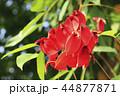 アメリカデイゴの花 44877871