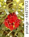 アメリカデイゴの花 44877872