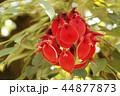 アメリカデイゴの花 44877873