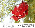 アメリカデイゴの花 44877874