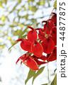 アメリカデイゴの花 44877875
