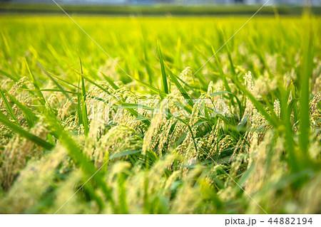 稲作農業 収穫の秋 44882194