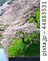 桜 春 染井吉野の写真 44883531