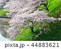 桜 春 染井吉野の写真 44883621