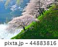 桜 春 染井吉野の写真 44883816