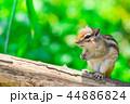 リス 動物 シマリスの写真 44886824