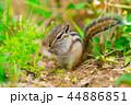 リス 動物 シマリスの写真 44886851