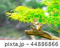 リス 動物 シマリスの写真 44886866
