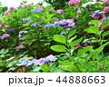 梅雨時期の紫陽花 44888663