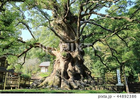 日本一の巨樹 蒲生の大クス 44892386