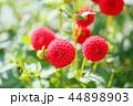 ダリア 花 植物の写真 44898903