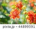 ダリア 花 植物の写真 44899391
