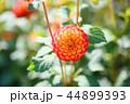 ダリア 花 植物の写真 44899393