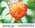 ダリア 花 植物の写真 44899394