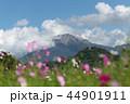コスモス 大山 山の写真 44901911
