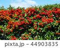 ピラカンサ 44903835