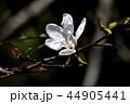 コブシ 辛夷 田打ち桜の写真 44905441