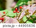 アメリカヤマボウシ 花水木 ミズキ科の写真 44905636