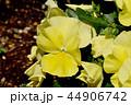 ビオラ スミレ目 スミレ科の写真 44906742