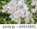 シンビジウム 蘭 花の写真 44910881