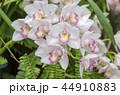 シンビジウム 蘭 花の写真 44910883