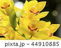 シンビジウム 蘭 花の写真 44910885