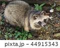 ホンドタヌキ タヌキ 狸の写真 44915343