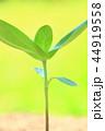 芽 新芽 葉の写真 44919558