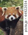 レッサーパンダ 動物 アップの写真 44922034