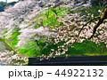 桜 春 染井吉野の写真 44922132
