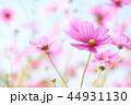 コスモス 秋桜 花の写真 44931130