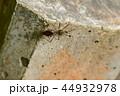 オオトビサシガメ 1匹 44932978