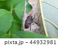 アトモンサビカミキリ 一匹 44932981