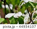 アメリカヤマボウシ 花水木 ミズキ科の写真 44934107