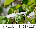 アメリカヤマボウシ 花水木 ミズキ科の写真 44934115