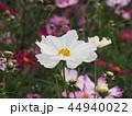 コスモス 白色 秋桜の写真 44940022