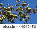 花梨 果実 実の写真 44940458