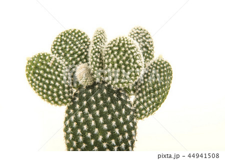Prickly pear cactus isolated on a white background 44941508