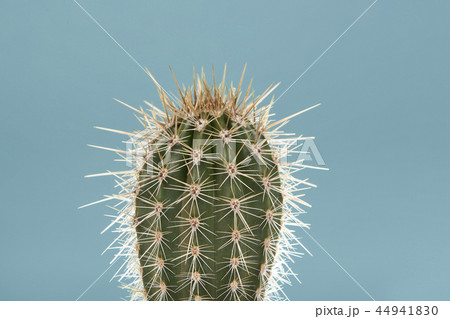 Single cactus plant on a soft blue background 44941830